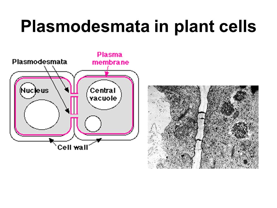 Plasmodesmata in plant cells