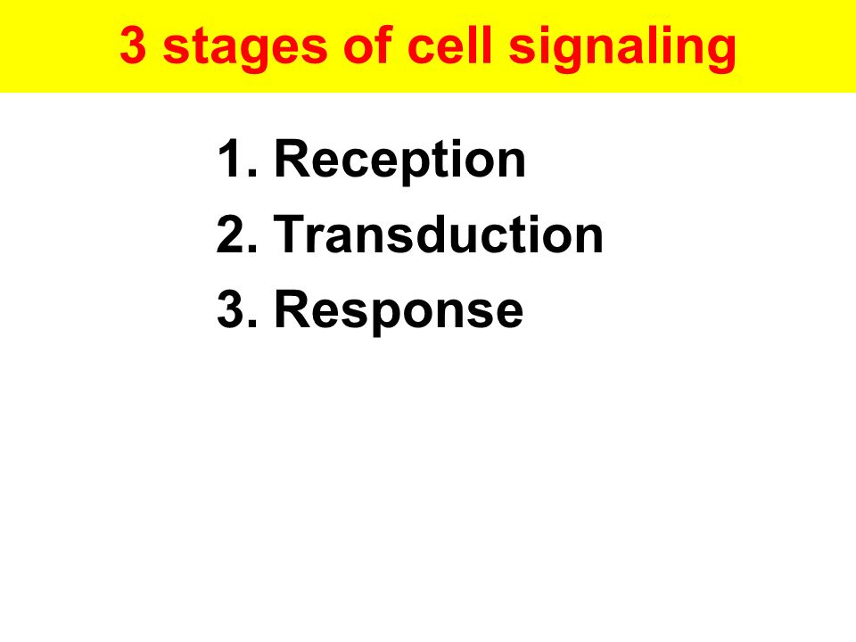 3 stages of cell signaling