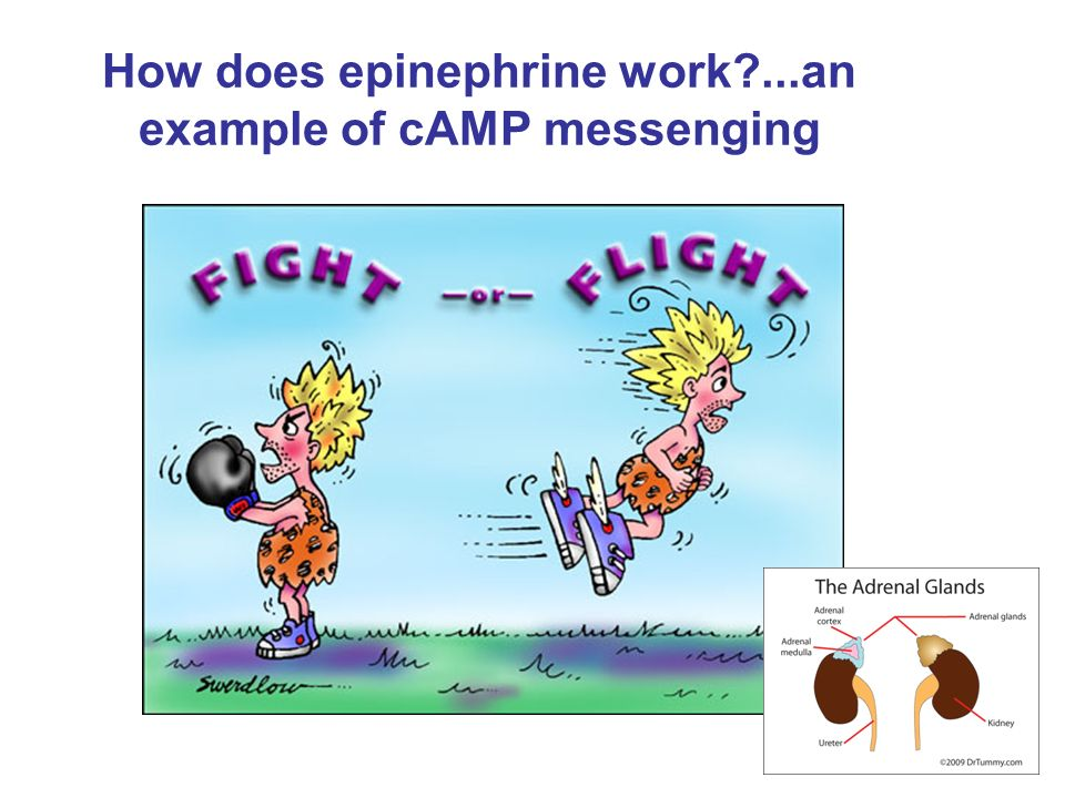 How does epinephrine work ...an example of cAMP messenging