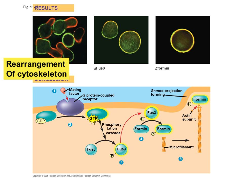 Rearrangement Of cytoskeleton RESULTS CONCLUSION