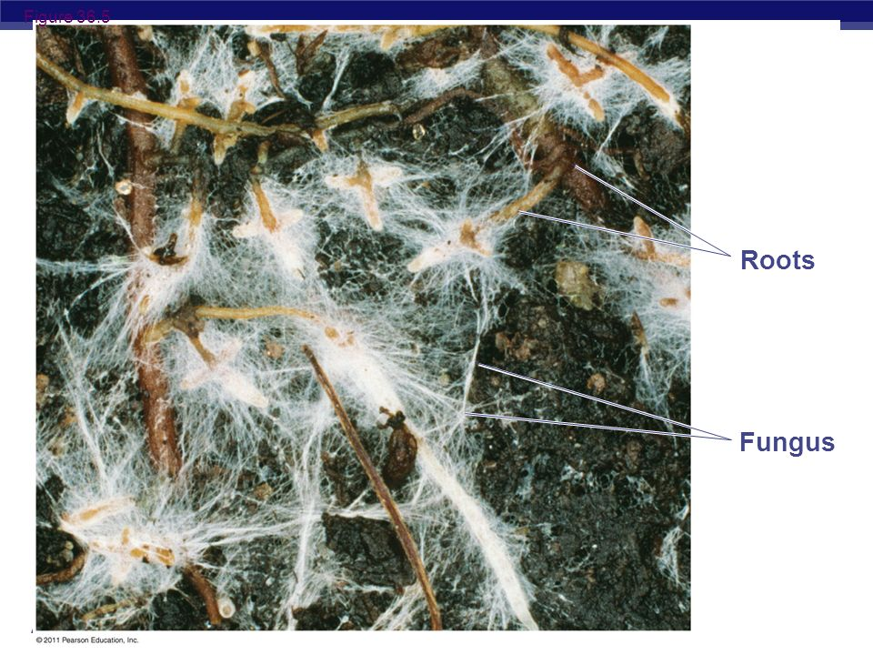 Figure 36.5 Roots Figure 36.5 A mycorrhiza, a mutualistic association of fungus and roots. Fungus