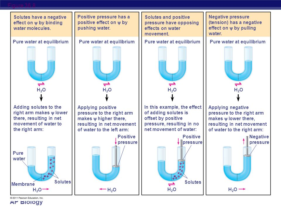 Figure 36.8 Solutes have a negative effect on  by binding water molecules. Positive pressure has a positive effect on  by pushing water.