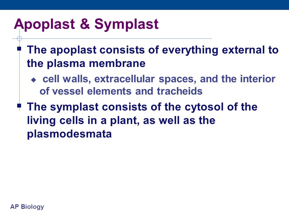 Apoplast & Symplast The apoplast consists of everything external to the plasma membrane.