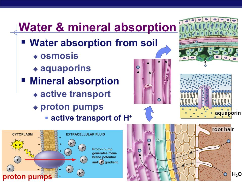 Water & mineral absorption