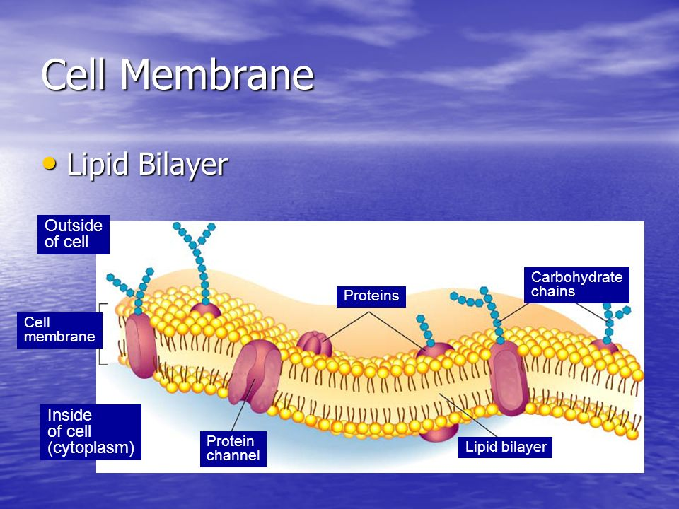 Cell Membrane Lipid Bilayer Outside of cell Inside (cytoplasm)