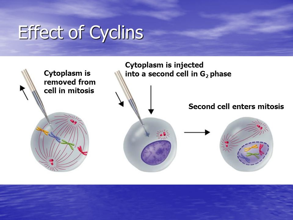 Effect of Cyclins Cytoplasm is injected into a second cell in G2 phase