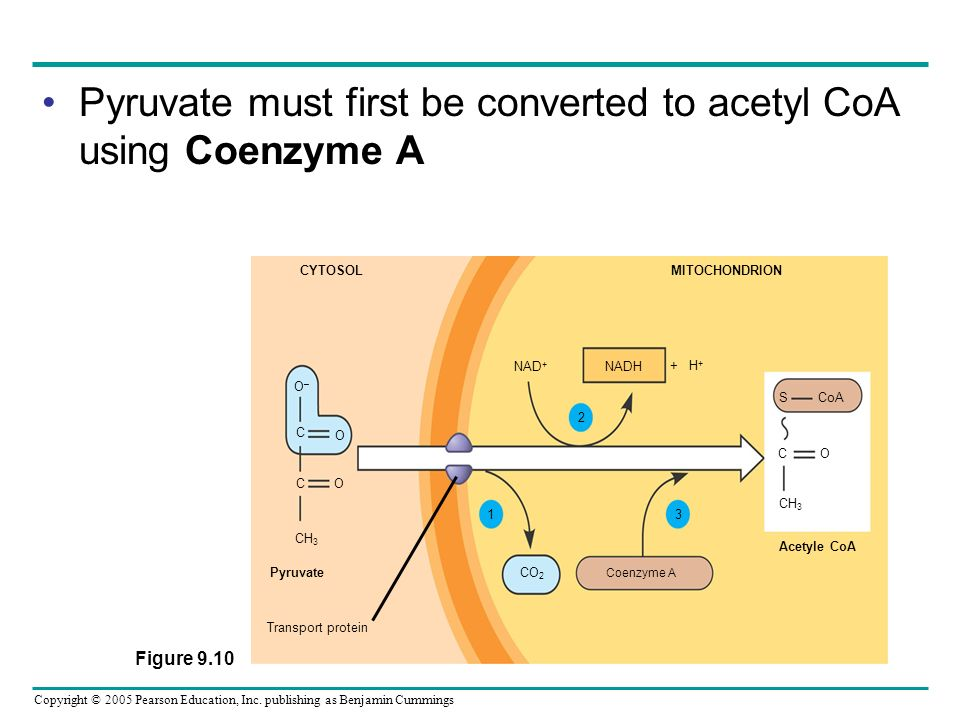 Pyruvate must first be converted to acetyl CoA using Coenzyme A
