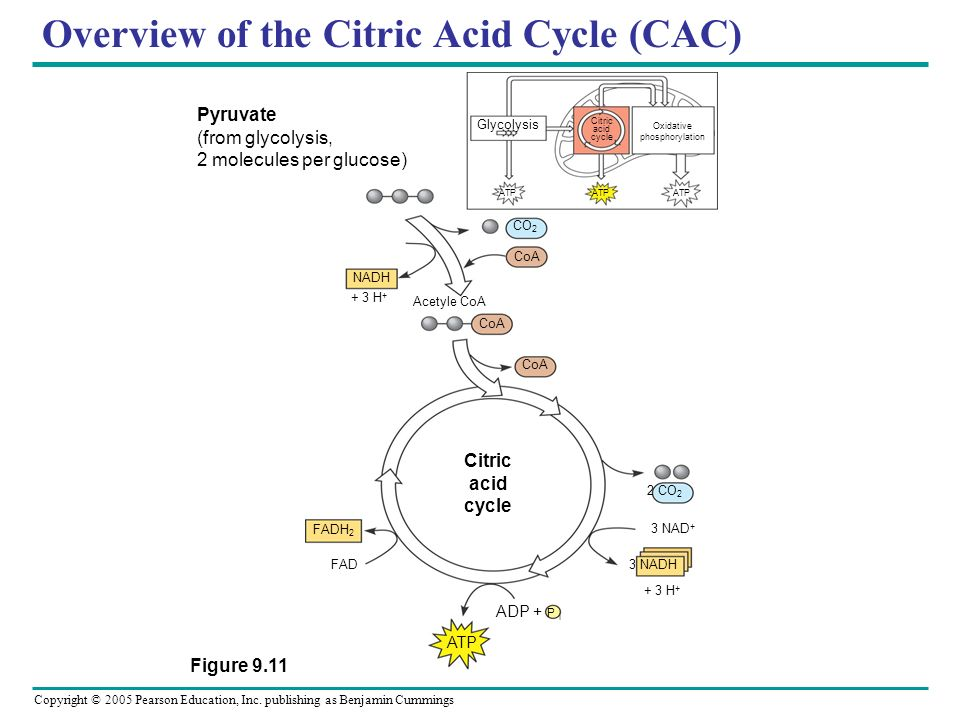 Overview of the Citric Acid Cycle (CAC)