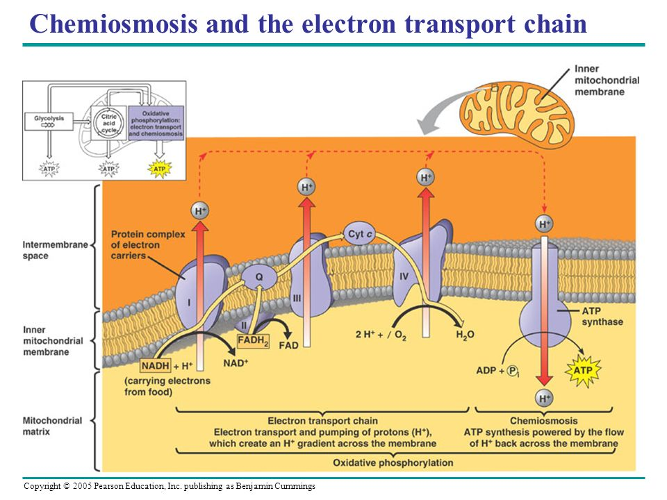 Chemiosmosis and the electron transport chain