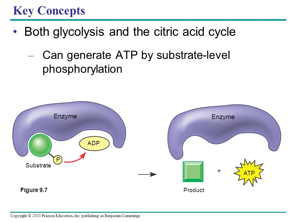 Both glycolysis and the citric acid cycle