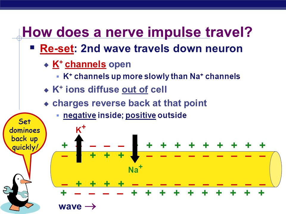 How does a nerve impulse travel