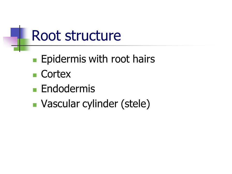 Root structure Epidermis with root hairs Cortex Endodermis