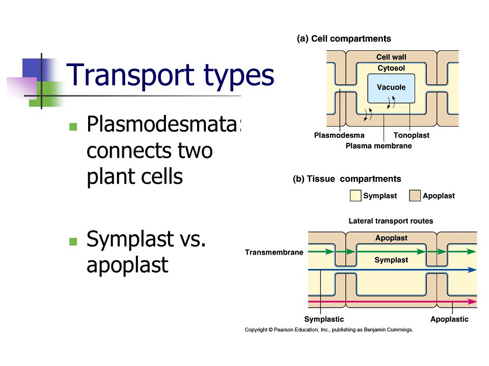 Transport types Plasmodesmata: connects two plant cells