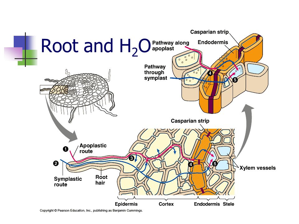 Root and H2O