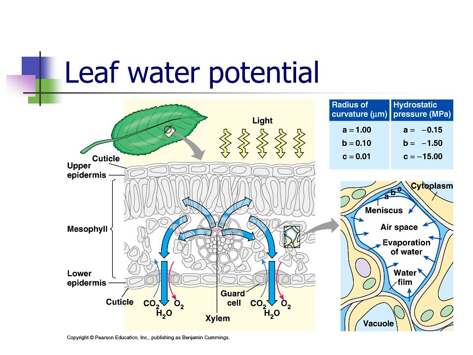 Leaf water potential