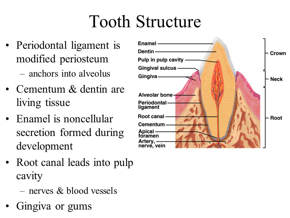 Tooth Structure Periodontal ligament is modified periosteum