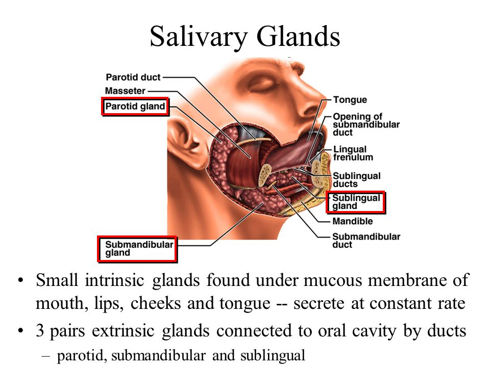 Salivary Glands Small intrinsic glands found under mucous membrane of mouth, lips, cheeks and tongue -- secrete at constant rate.
