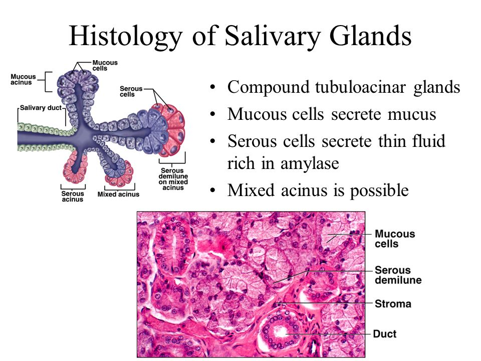 Histology of Salivary Glands