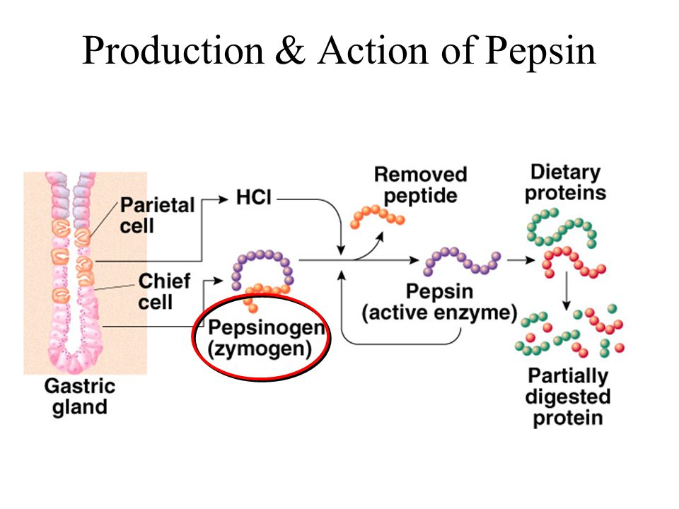 Production & Action of Pepsin