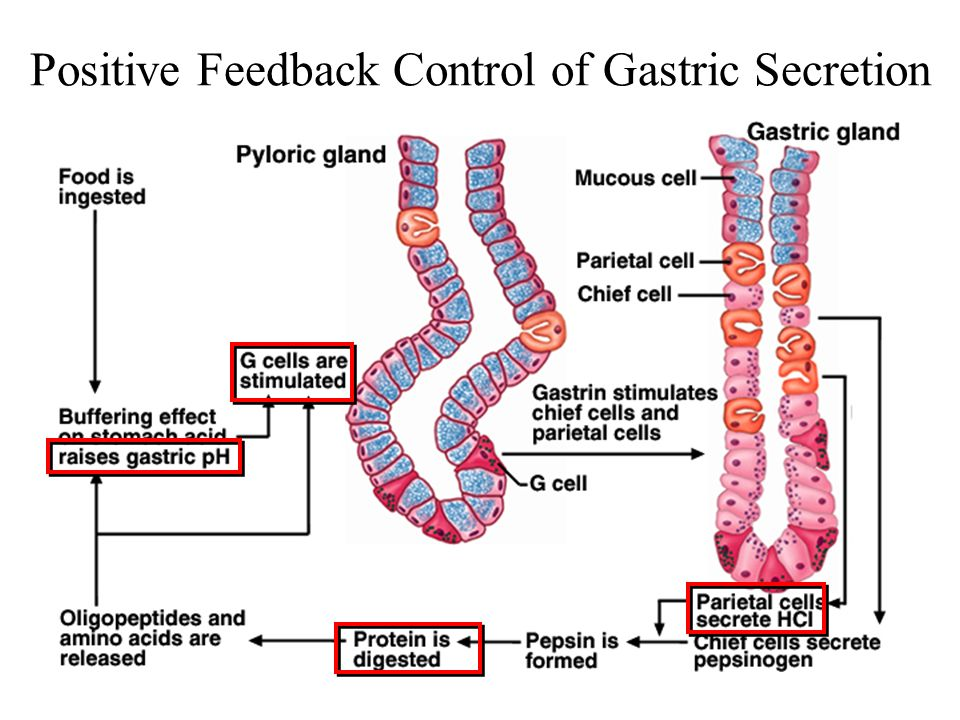 Positive Feedback Control of Gastric Secretion