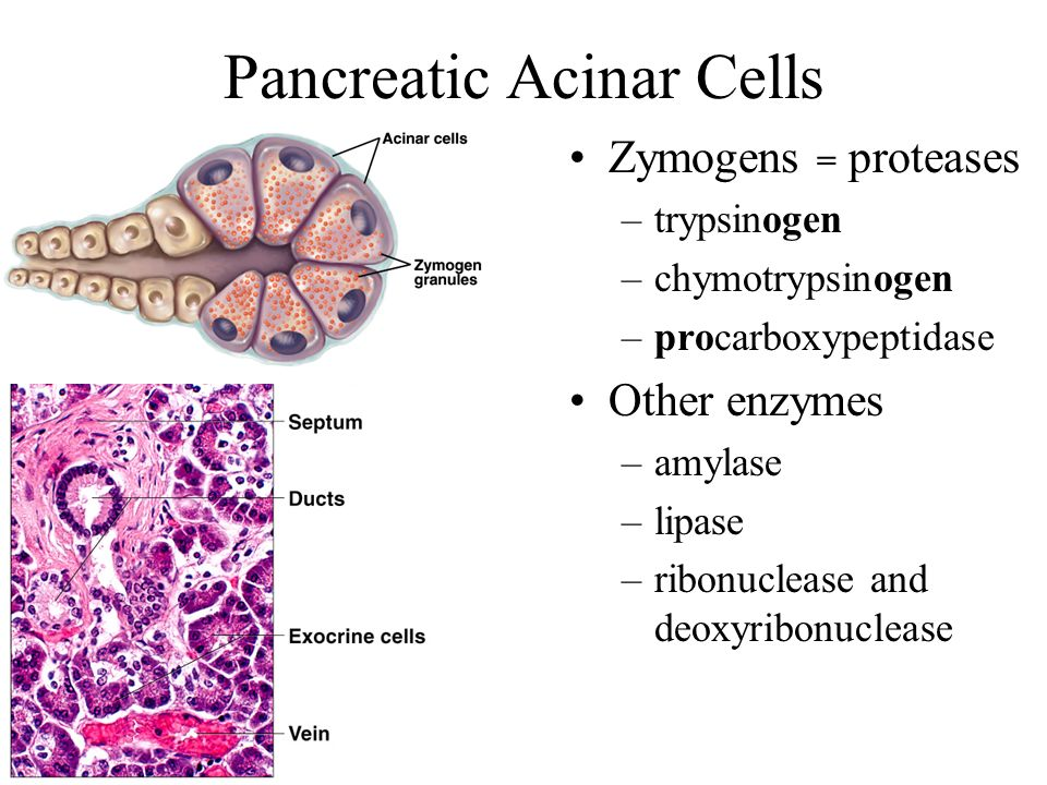 Pancreatic Acinar Cells