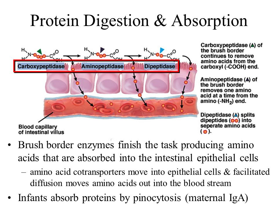 Protein Digestion & Absorption