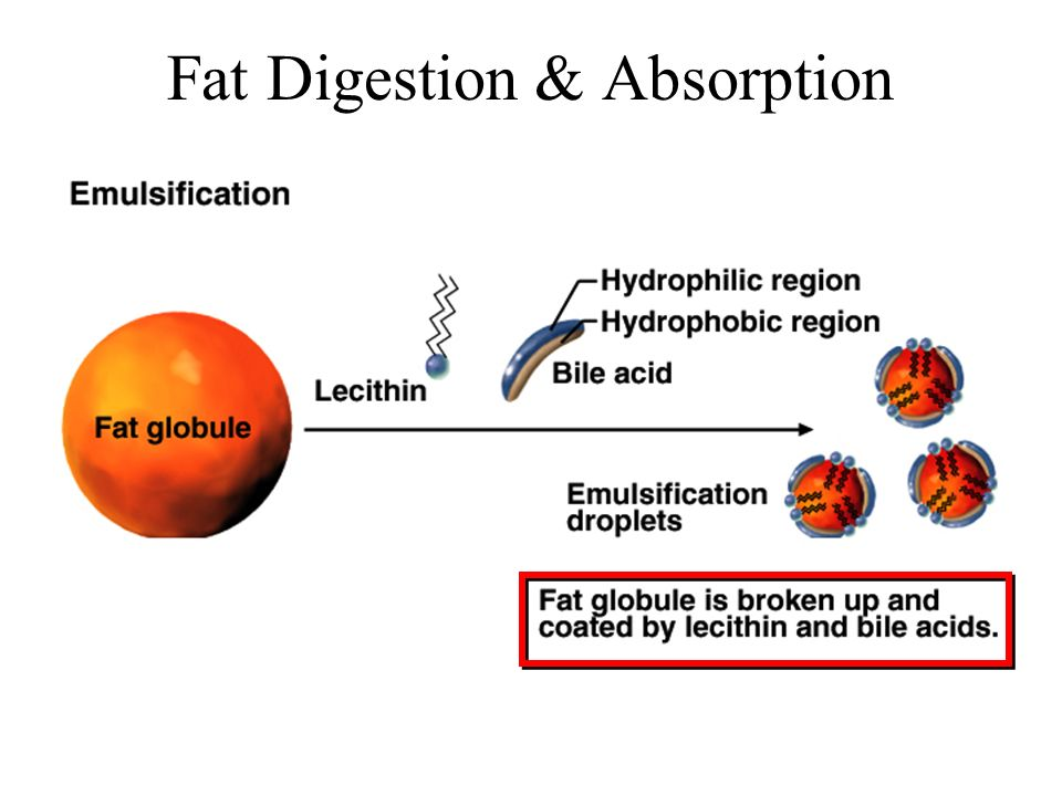 Fat Digestion & Absorption