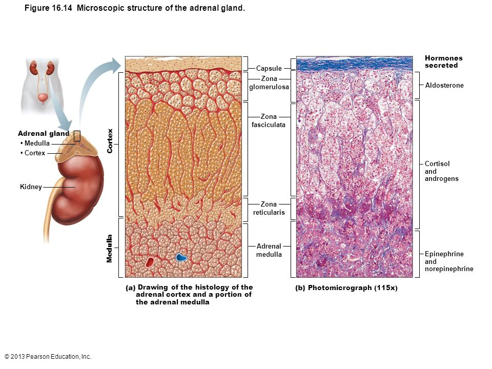 Figure 16.14 Microscopic structure of the adrenal gland.
