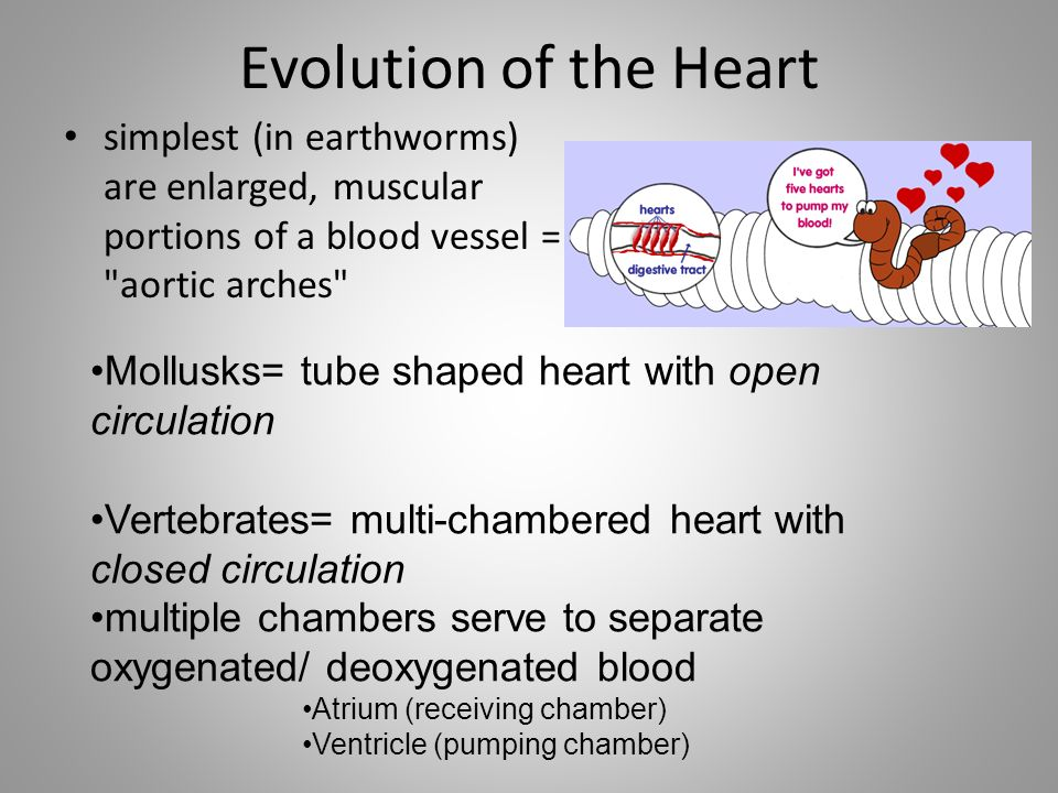 Evolution of the Heart simplest (in earthworms) are enlarged, muscular portions of a blood vessel = aortic arches