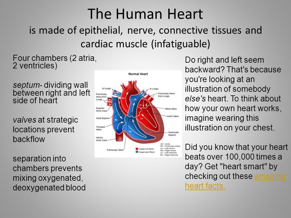 The Human Heart is made of epithelial, nerve, connective tissues and cardiac muscle (infatiguable)