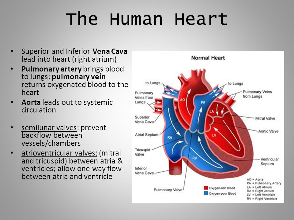 The Human Heart Superior and Inferior Vena Cava lead into heart (right atrium)
