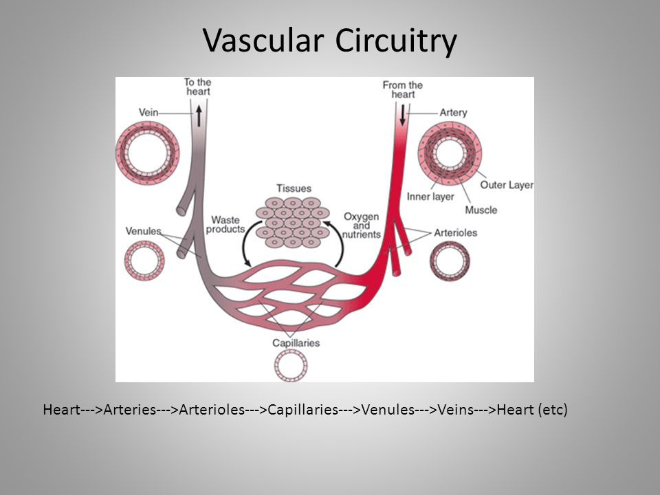 Vascular Circuitry Heart--->Arteries--->Arterioles--->Capillaries--->Venules--->Veins--->Heart (etc)