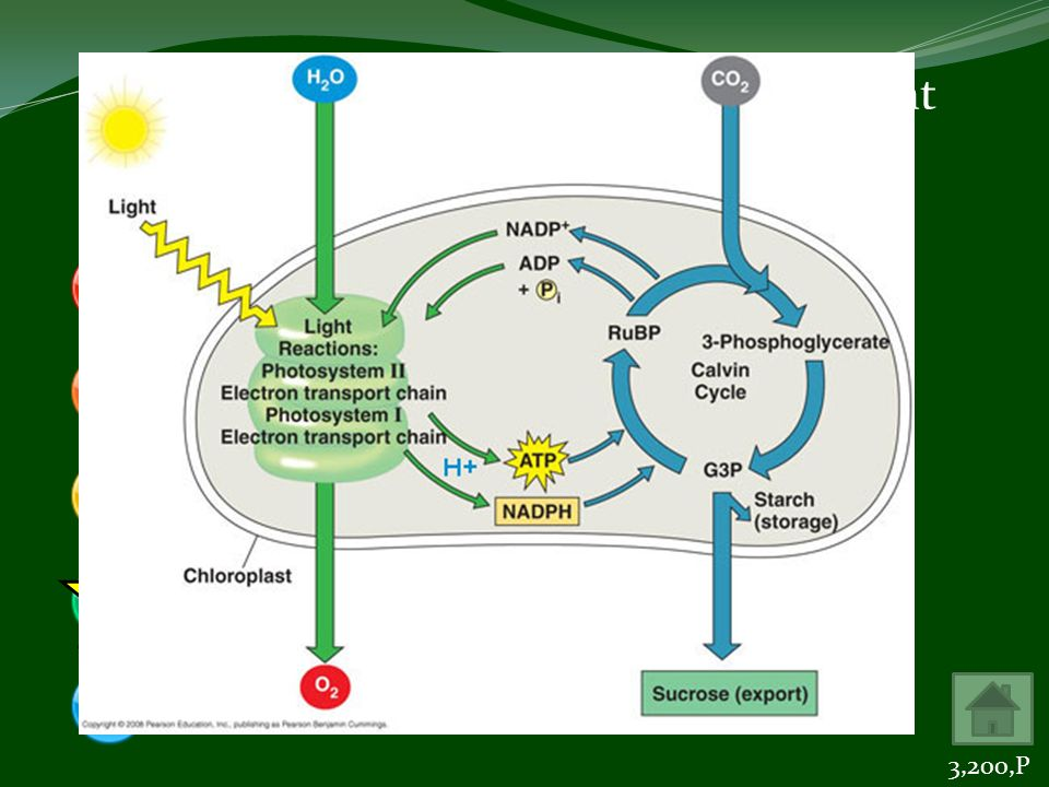 The end products of the light-dependent reactions of photosynthesis are