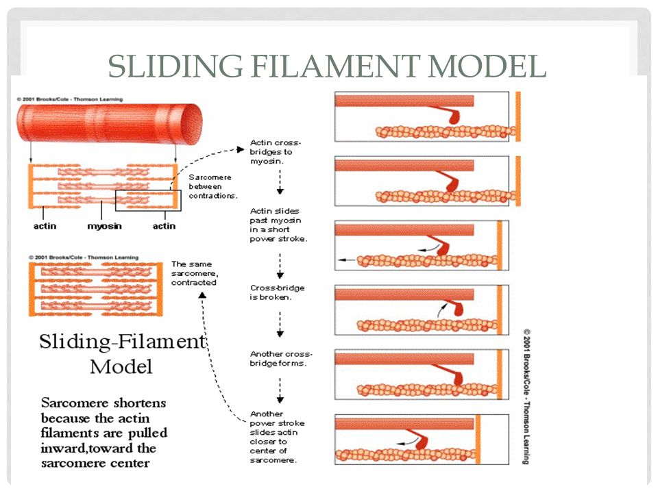 Sliding Filament Model