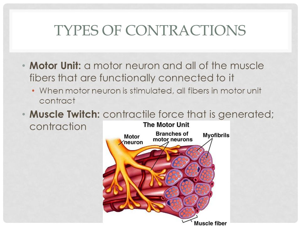 Types of Contractions Motor Unit: a motor neuron and all of the muscle fibers that are functionally connected to it.