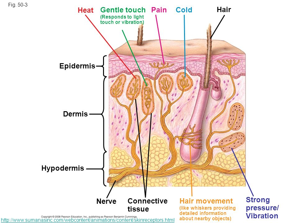 Heat Gentle touch Pain Cold Hair Epidermis Dermis Hypodermis Nerve