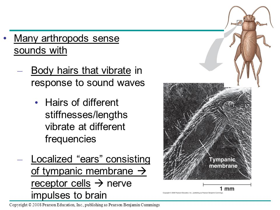 Many arthropods sense sounds with