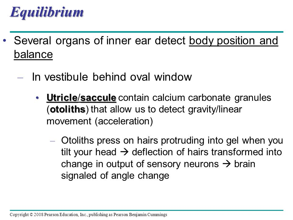 Equilibrium Several organs of inner ear detect body position and balance. In vestibule behind oval window.
