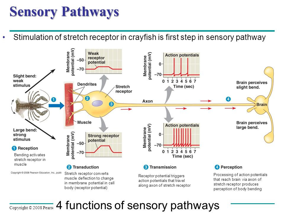 Sensory Pathways 4 functions of sensory pathways