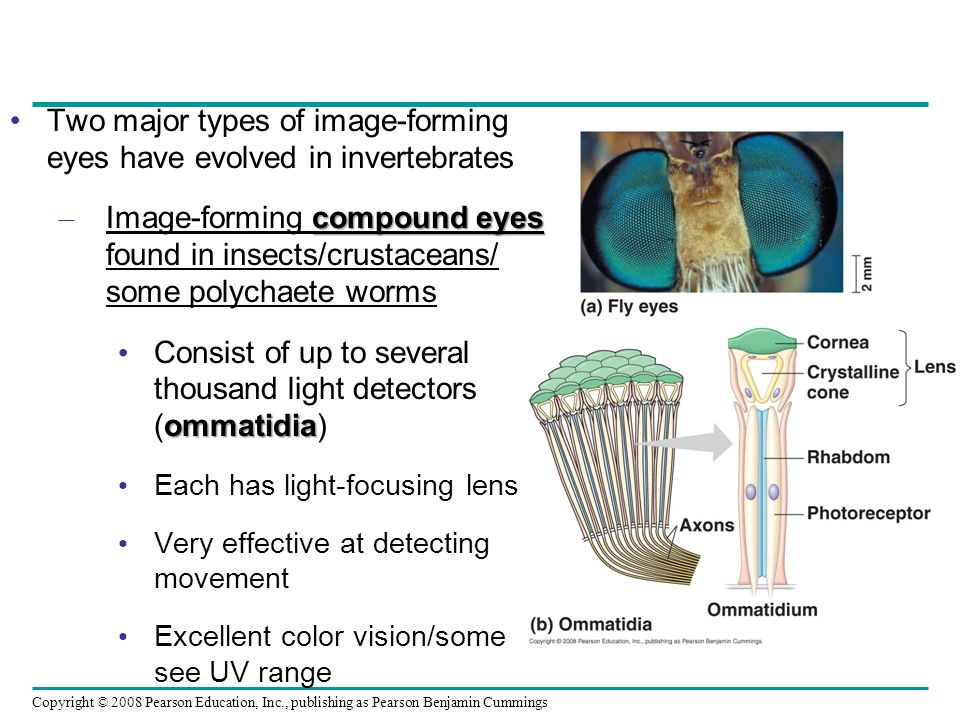 Two major types of image-forming eyes have evolved in invertebrates