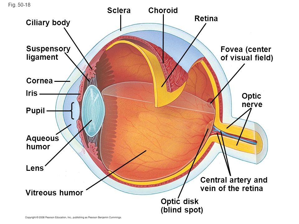 Fovea (center of visual field)