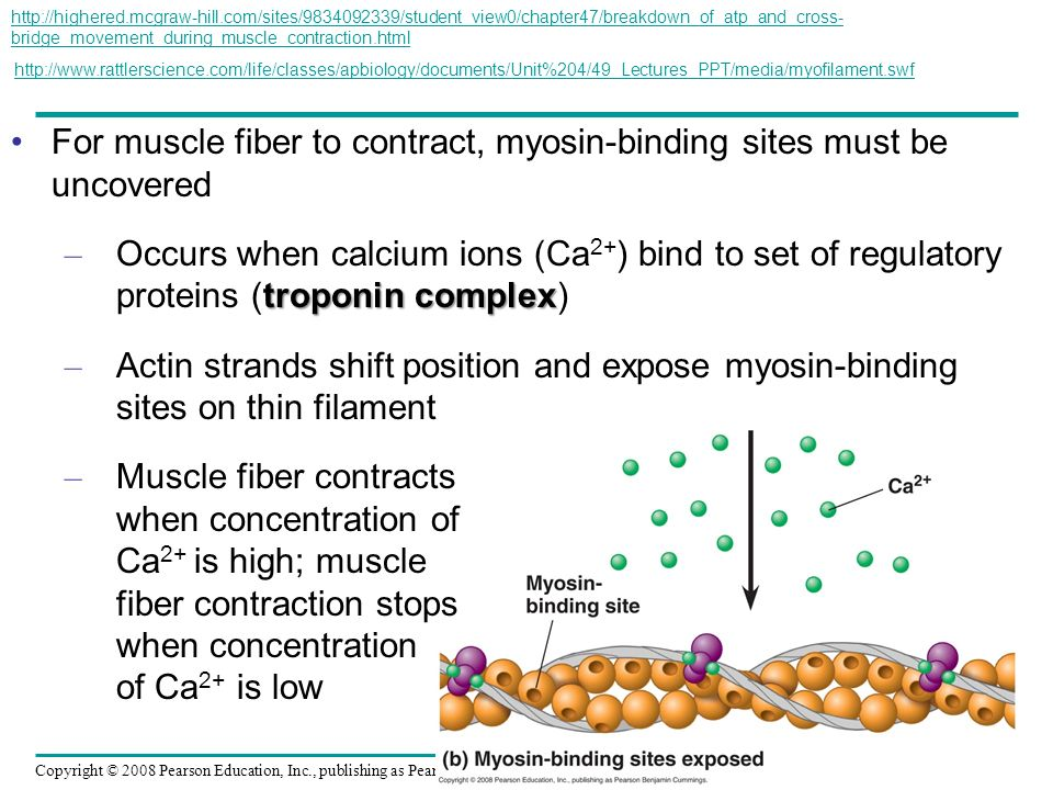 For muscle fiber to contract, myosin-binding sites must be uncovered