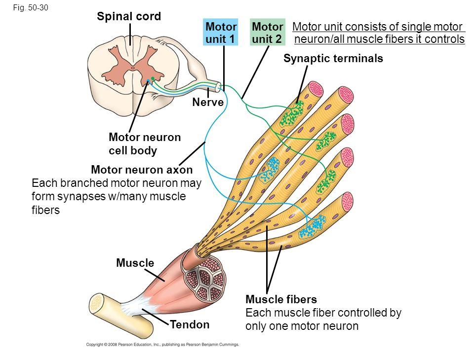 Spinal cord Motor unit 1 Motor Motor unit consists of single motor