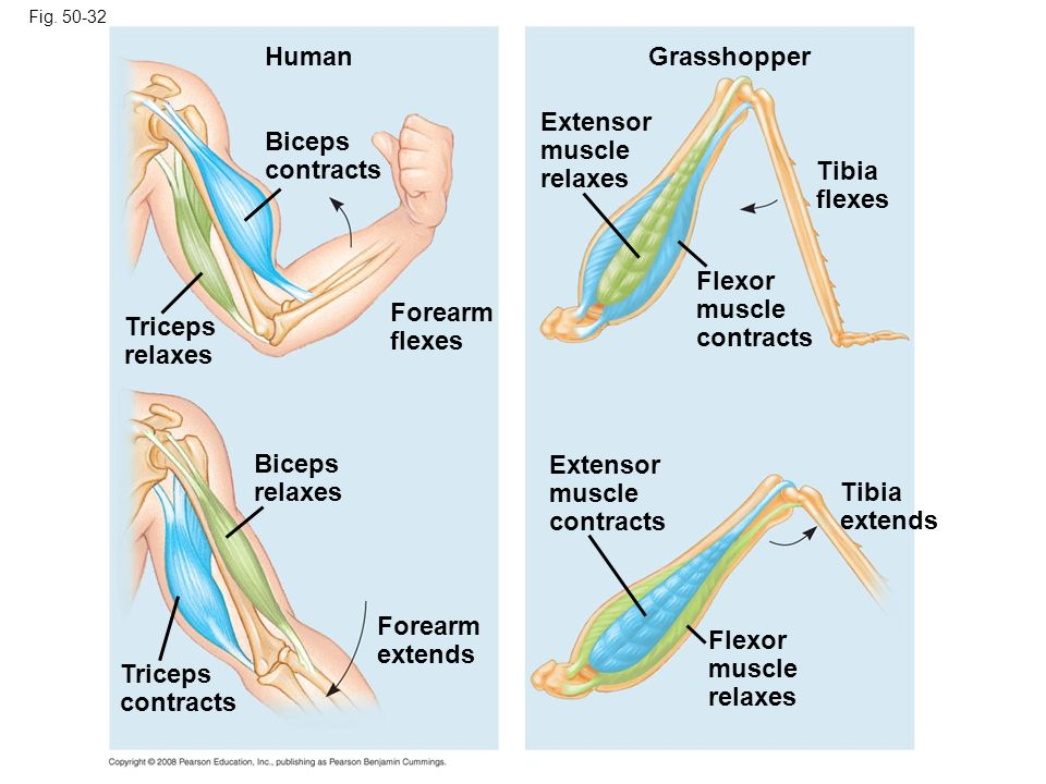 Extensor muscle relaxes Biceps contracts Tibia flexes