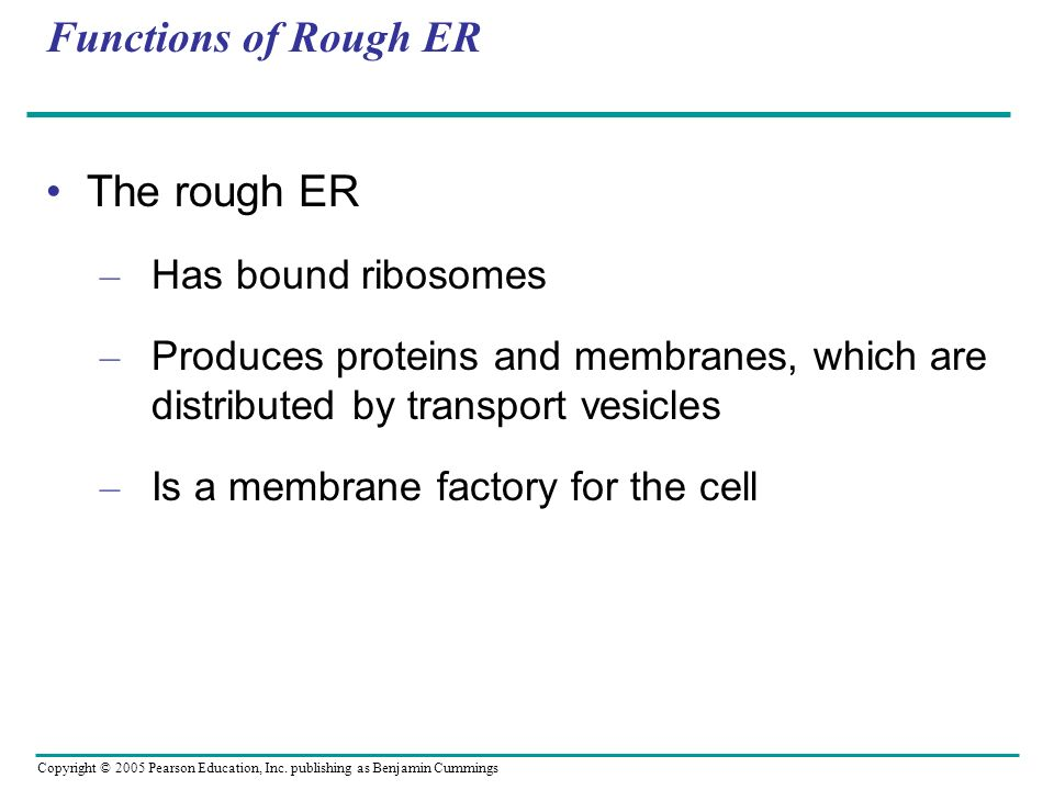 Functions of Rough ER The rough ER Has bound ribosomes