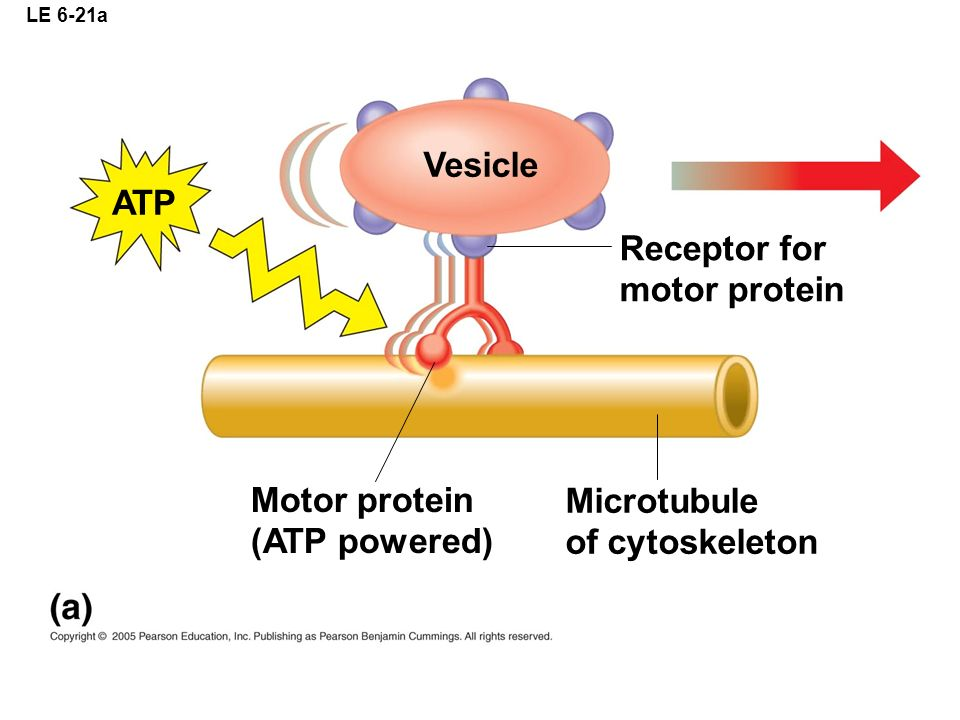 Vesicle ATP Receptor for motor protein Motor protein Microtubule