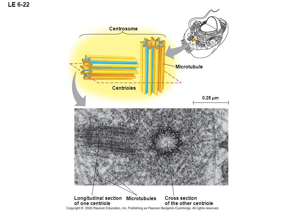 LE 6-22 Centrosome Microtubule Centrioles Longitudinal section