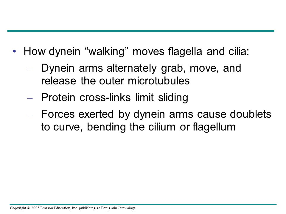 How dynein walking moves flagella and cilia: