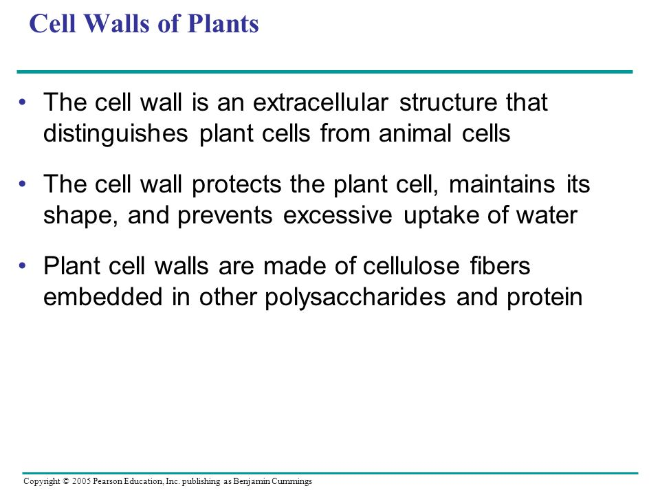 Cell Walls of Plants The cell wall is an extracellular structure that distinguishes plant cells from animal cells.