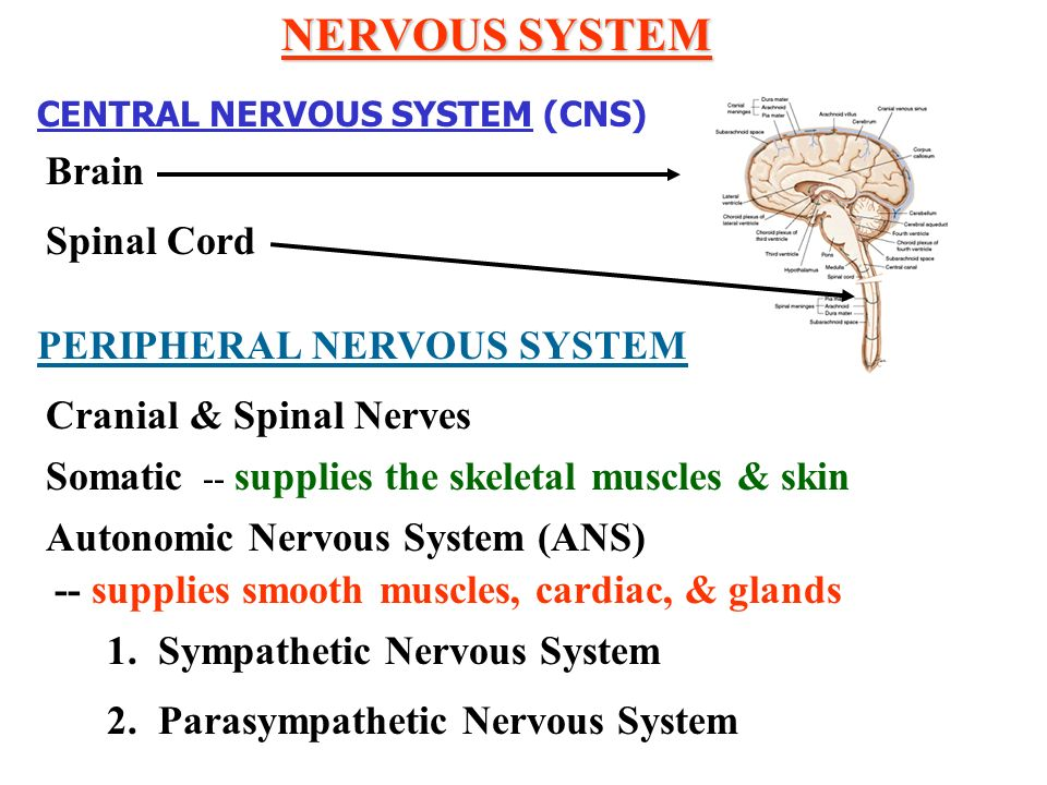 NERVOUS SYSTEM Brain Spinal Cord PERIPHERAL NERVOUS SYSTEM